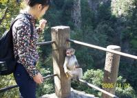 Zhangjiajie National Park Animal-Monkey